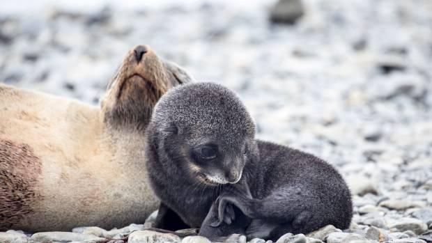 Seals at Fortuna Bay.