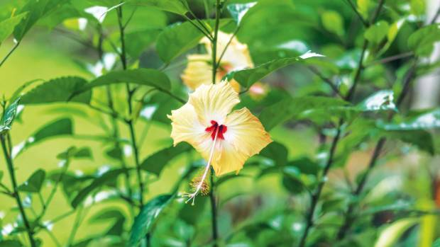 A hibiscus flower.