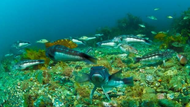 Fish life is abundant in the Kapiti Marine Reserve, on the Kapiti Coast, north if Wellington.