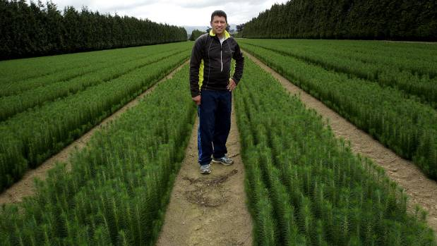 Patrick Murray with pinus radiata at his nursery in Woodville.