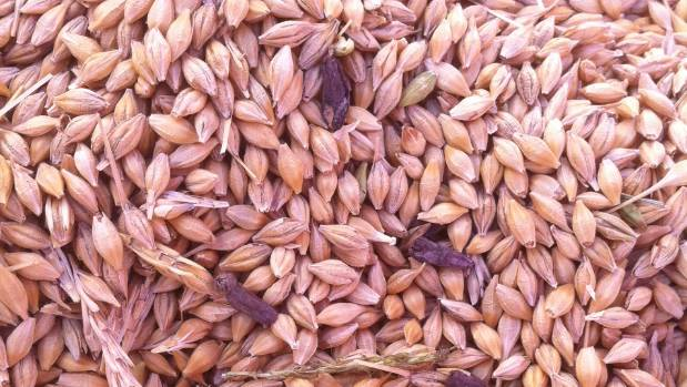 Dark ergots in a pile of barley grain.