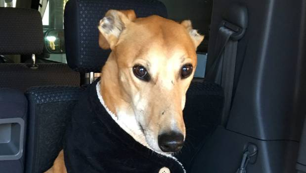Goldie the greyhound's owner claims he was kicked by another dog owner at Meola Reef Dog Park.