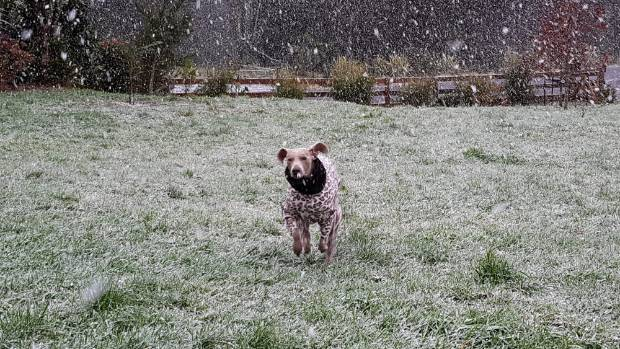 Gracie, Karrie and Rich Meyer's pet dog, runs through falling snow at the very top of Mangorei Road, next to the ...