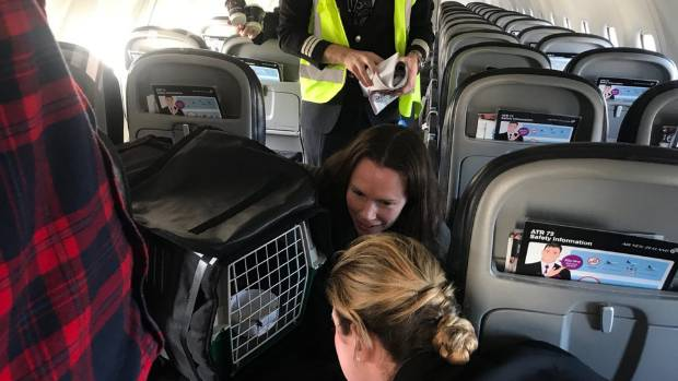 Flown to Christchurch and to Auckland on commercial Air New Zealand flights the birds got a lot of attention from staff.