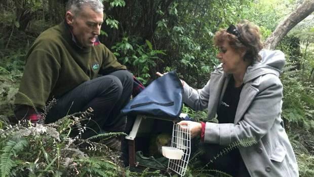With assistance from the rangers on Hauturu and Tane Davis of Ngai Tahu and Fiona McKenzie of Ngati Manuhiri released ...