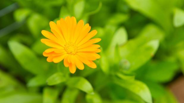 Calendulas or pot marigolds add colour to the vegetable garden and grow well in pots.