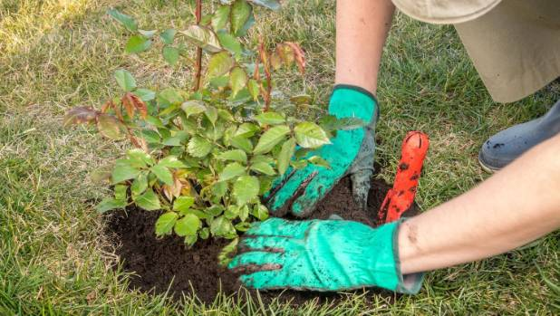 Firmly press down the soil when planting a rose bush so the roots are in close contact with the soil and the plant won't ...