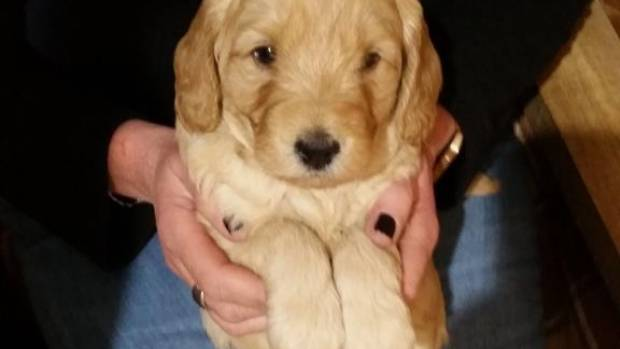 Ivy the goldendoodle at 4 weeks old.