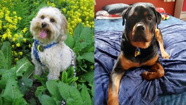 Happy place: Barney (left) is content parked in a garden bed. Luca creases the bed with 68kg of charm.