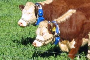 """Beef cows wear collars that train them to keep within a """"virtual"""" fence."""