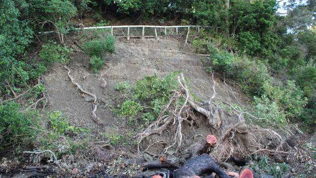 The land slip along the now restricted Lotus walkway, in Browns Bay where a land slip pulled a large pohutukawa down with it.