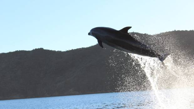 A playful dolphin shows off in front of Cougar Line passengers in the Marlborough Sounds near Endeavour Inlet.