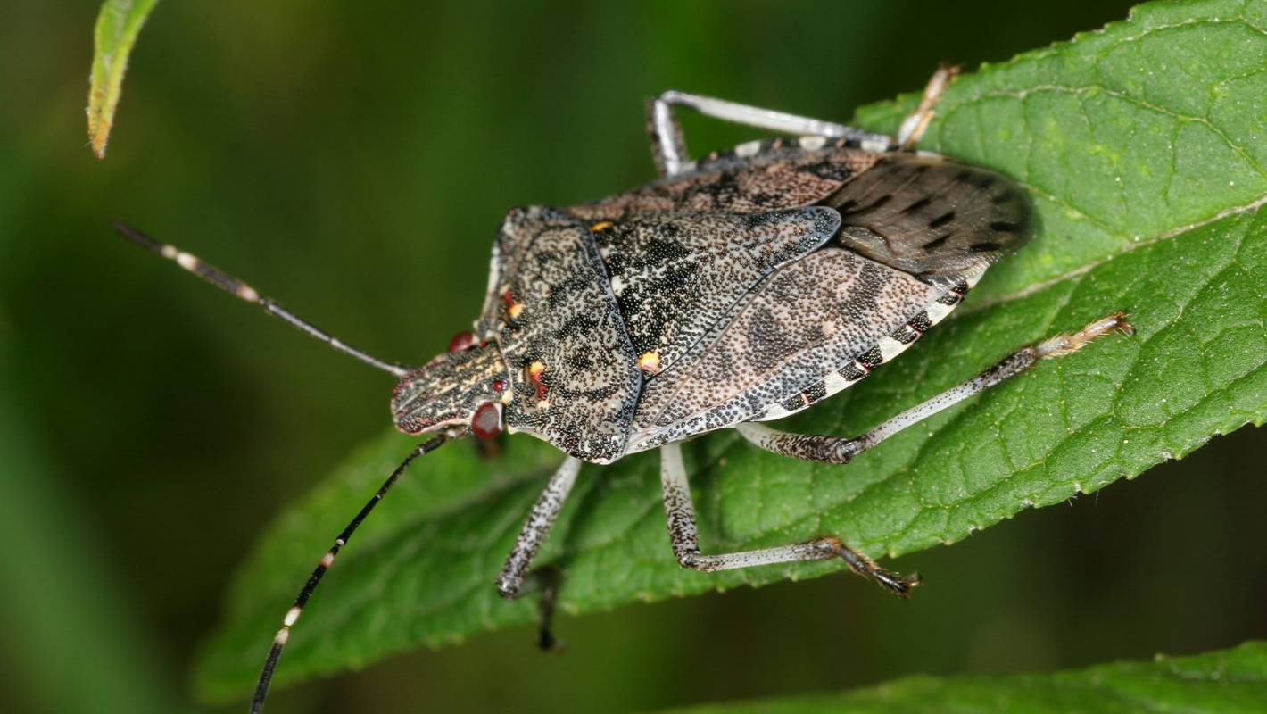 major biosecurity threat 15 stink bugs found alive in christchurch after fumigation failure. Black Bedroom Furniture Sets. Home Design Ideas