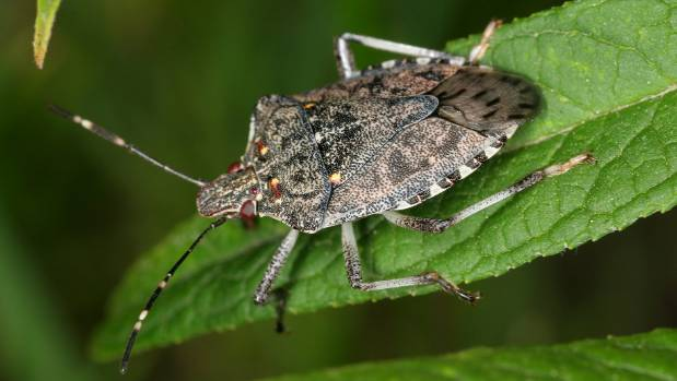 The brown marmorated stink bug has a liking for a wide variety of plants.