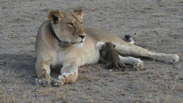 'Very unusual': Lion nurses leopard cub in Tanzania