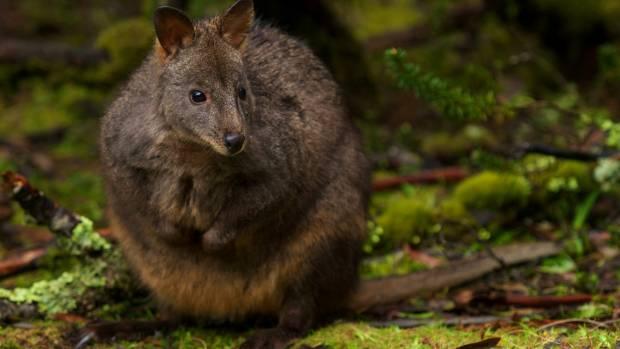 Check out a Tasmanian pademelon.