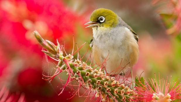 Silvereyes have decreased in numbers, attributed to a change in vegetation at Waiwhararake Natural Heritage Park.