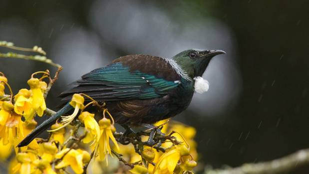 Neil Fitzgerald, Landcare field technician and bird photographer captured this tui in a kowhai tree.
