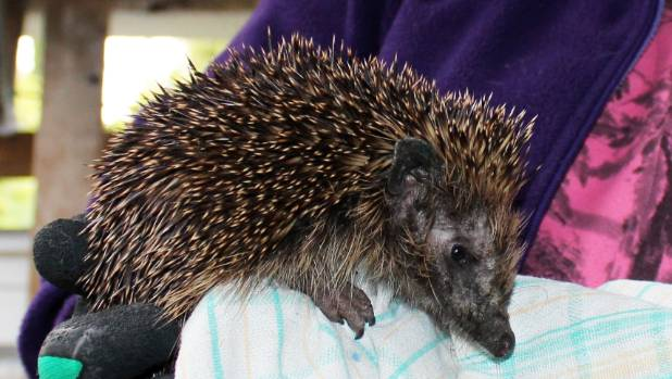 Lesley Wheatley says she owes spending time with her mum to a hedgehog she helped rescue.