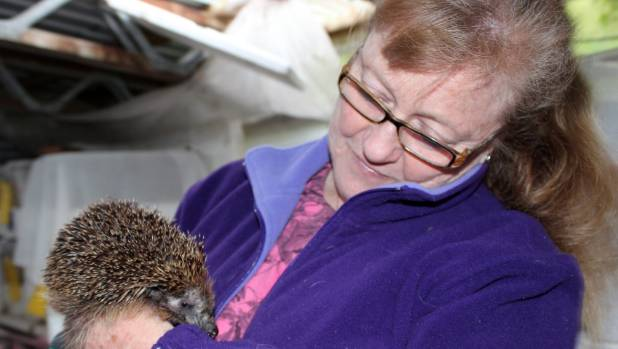 Wheatley has been rescuing hedgehogs for four years.