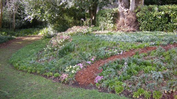 Banks of hellebore flowers, Kate Foster's favourite in the garden.