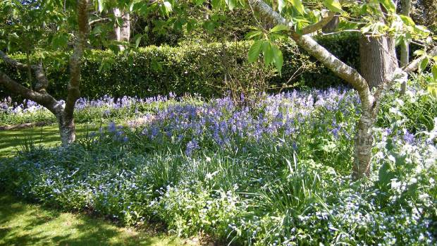 Bluebells will be on show for an October open day.