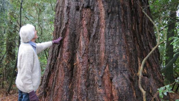 Kate Foster next to a huge redwood planted on the property more than 100 years ago.