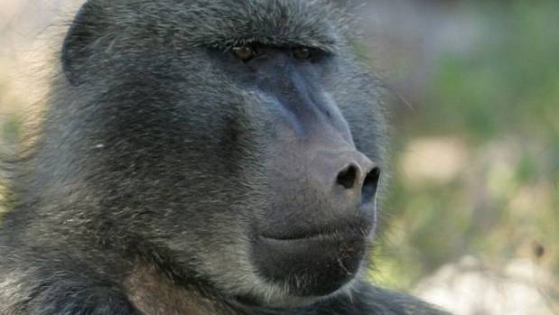 The baboon survived an electric shock from the power station and is now being cared for (File picture).