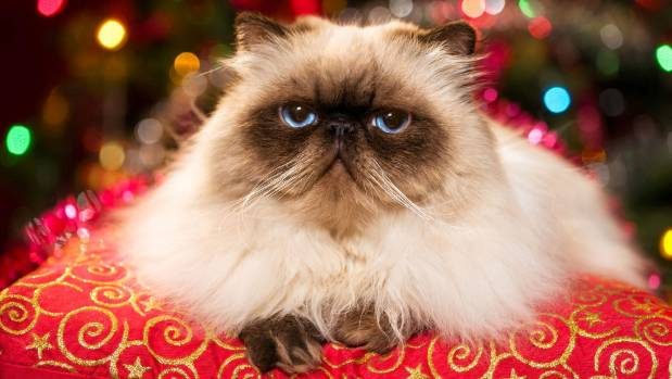 Persian cats where bred to be lap-sitters and enjoy the creature comforts of home.