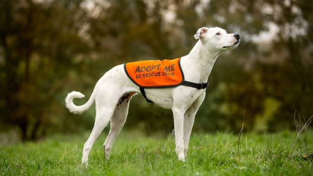 Polar the greyhound is currently available for adoption via DC Rescue Dogs.