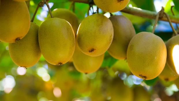 Sales of gold kiwifruit are driving sales in North America.