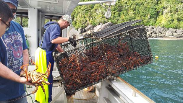 The Fiordland Lobster Company send more than a million crayfish to China last year.
