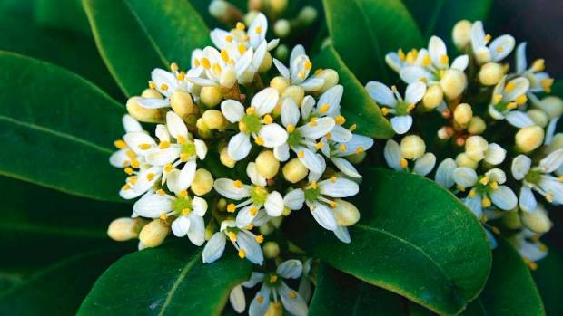 Fragrant Daphne The Right Variety For Every Garden
