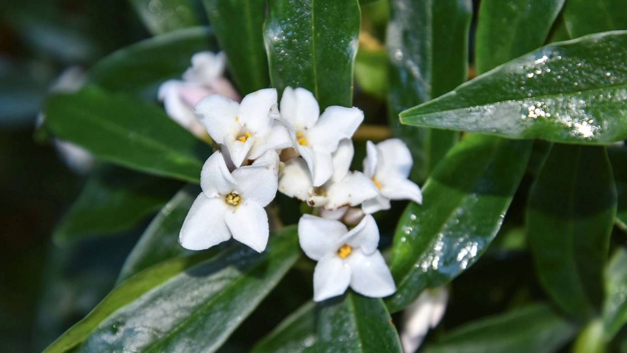 Fragrant Daphne The Right Variety For Every Garden Stuff