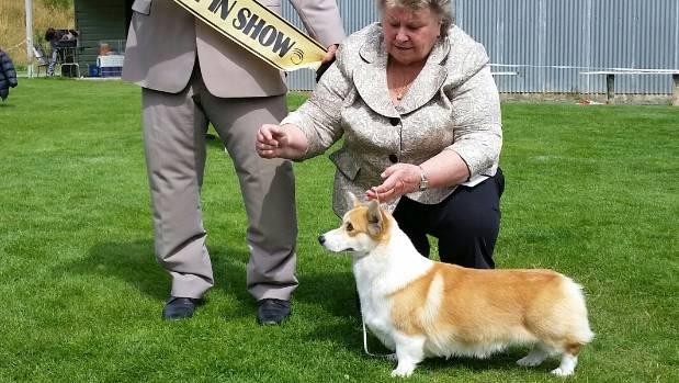 Lesley Chalmers breeds award-winning pembroke corgis.