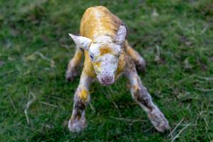 Wobbling on it new legs, this lamb has just been born, in the cold, winter wind near Palmerston North.