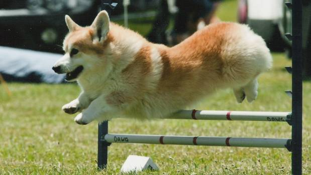 Some pembroke corgis are born with their tails naturally short or missing due to a dominant gene (file photo).