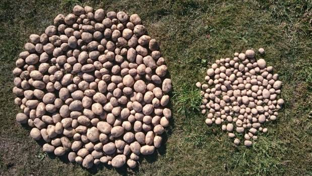 Comparative yield of moonlight potatoes grown under mesh, left, and without mesh. They were the harvest from a test of ...