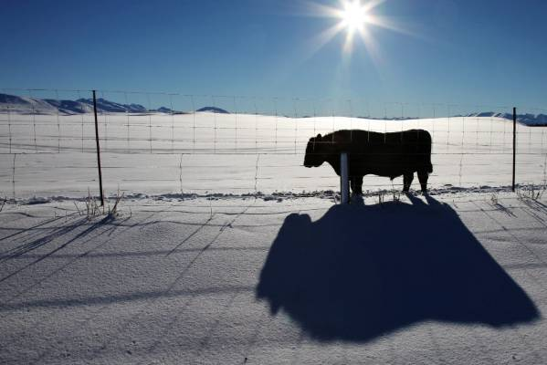A cow takes in the sunlight, after a snow dump in the Mackenzie District.