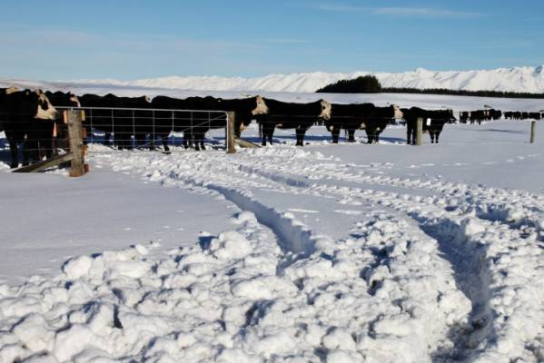 A herd of cows wanders through the snow.