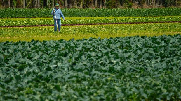 Farm worker Taane Vili out working in the Garden of York's cauliflower, broccoli, and cabbage fields near Levin. Will ...