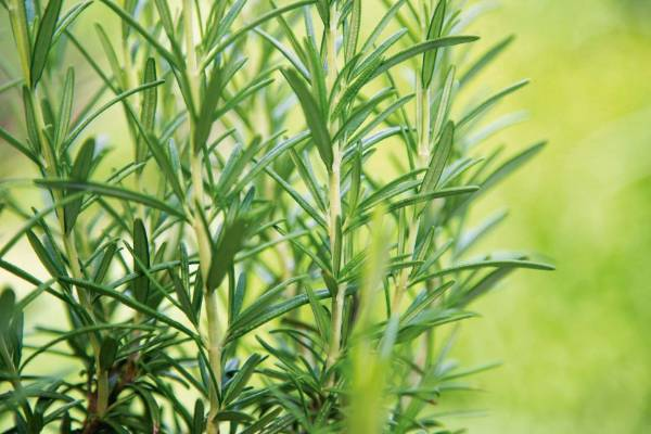 Rosemary grows well in sun. Put new plants in a sunny spot in free-draining soil. Poor or sandy soils are fine. Seeds ...