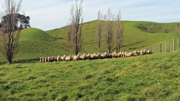 Poll dorset stud ram hoggets on Rick Lee's Elsthorpe farm.