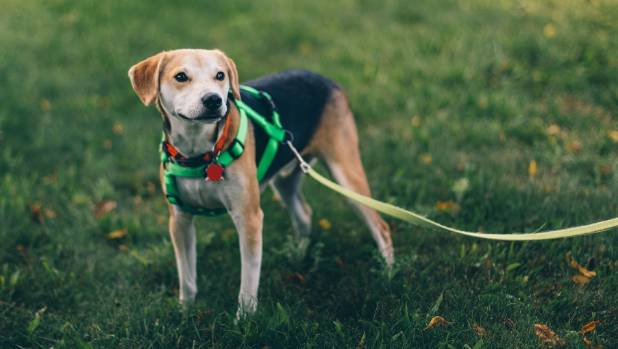 Dog walking could be key to ensuring activity in later life