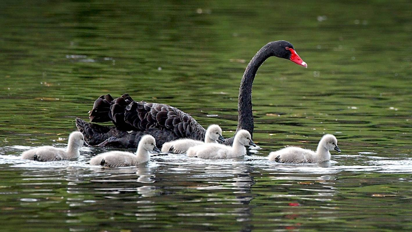 Ancient Black Swans Hunted To Extinction Nz S Swans From