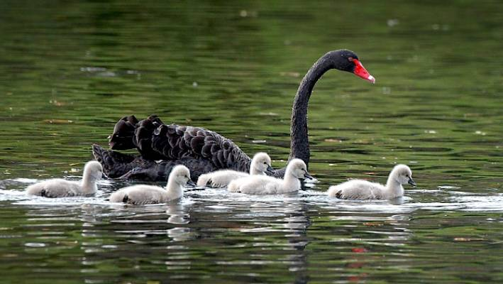 Ancient black swans hunted to extinction, NZ's swans from ...