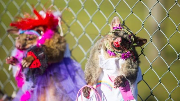 Two possums dressed in their finery.