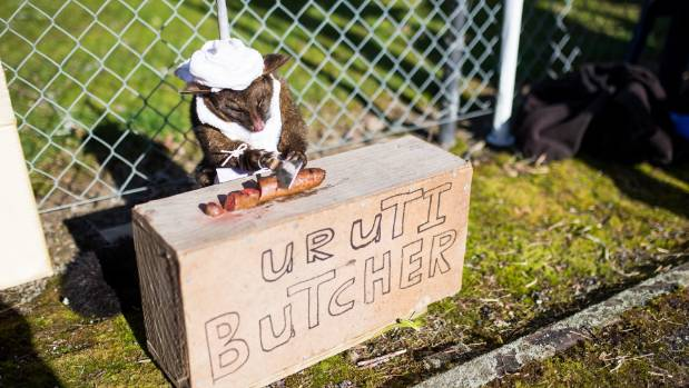 The Uruti butcher possum was a dab hand with a cleaver.