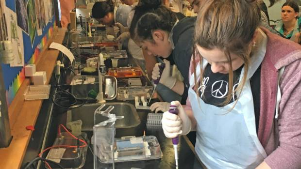 Science students extract DNA from crash-landed hutton's shearwaters to determine their gender.