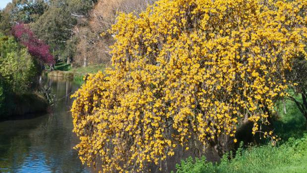 Sophora microphylla in full bloom on the banks  of The Avon in Hagley Park.